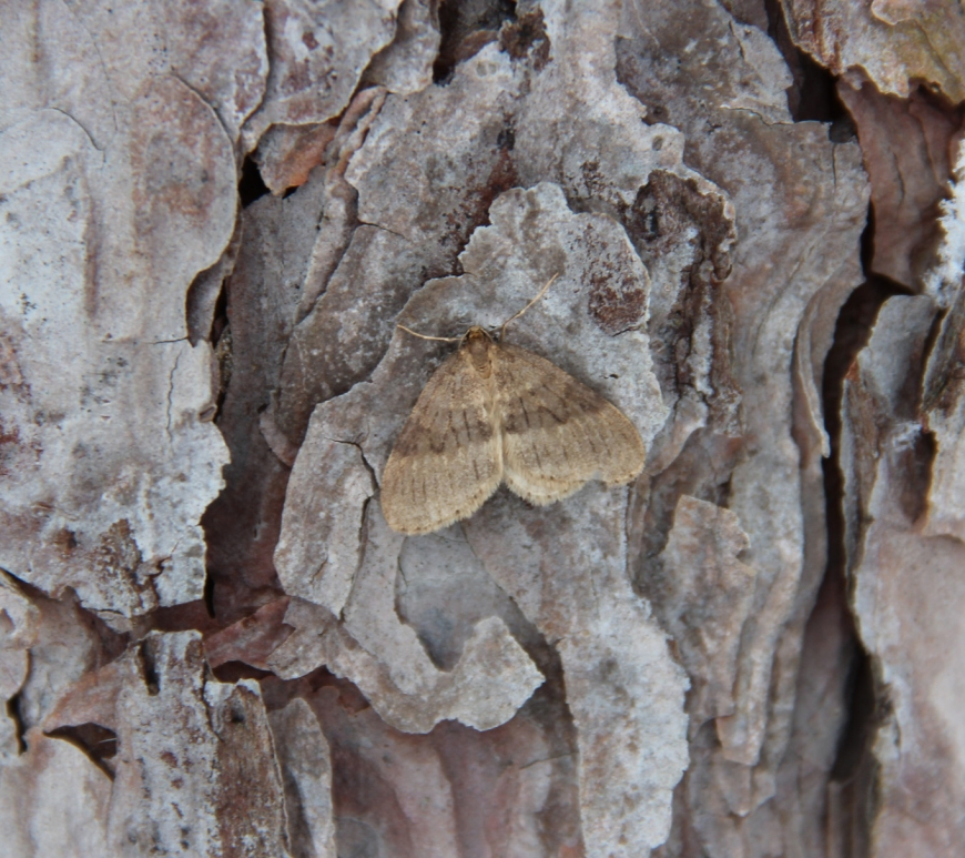 Winter moth on pine tree bark