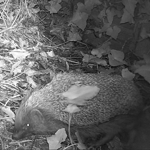 Black and white image of a hedgehog foraging
