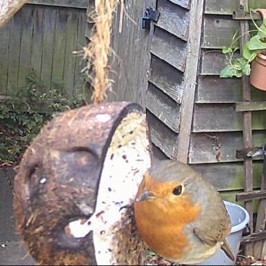 Robin feeding on a fat block