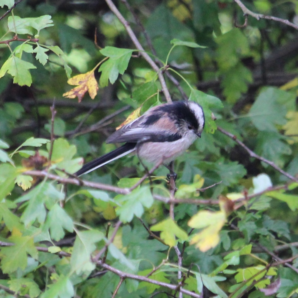 Long-tailed tit in hawthorn