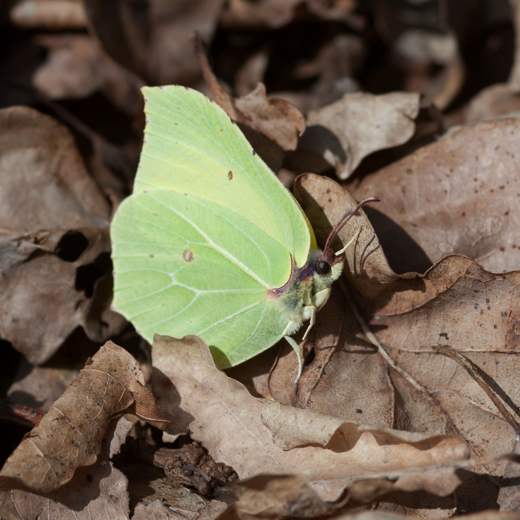 Brimstone butterfly resting on dried leaves