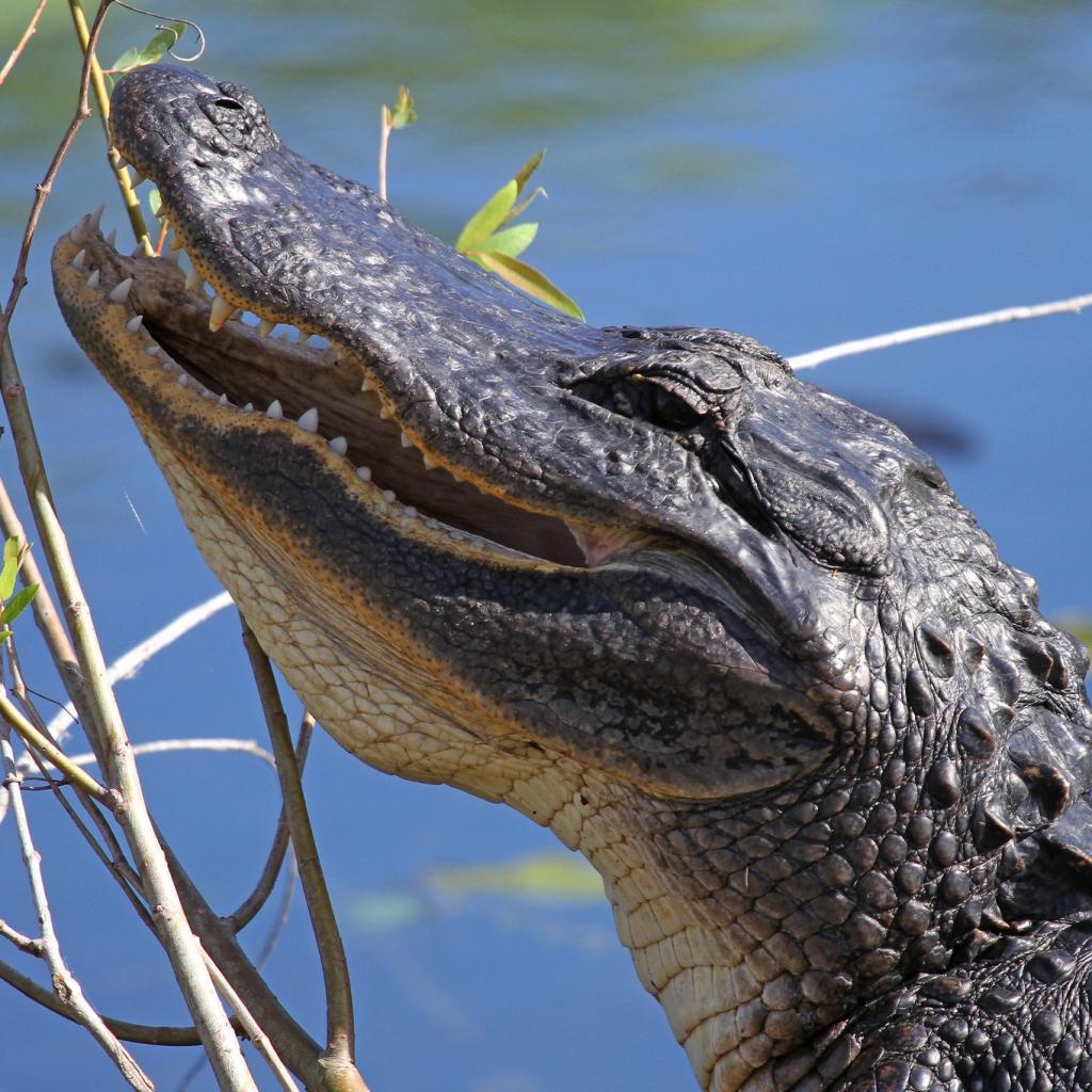 Head of an American alligator