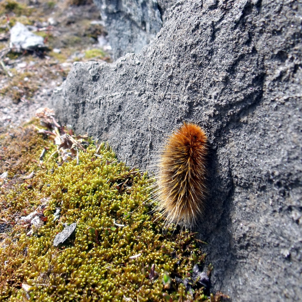 Arctic wooly bear caterpillar covered in long hairs on rock