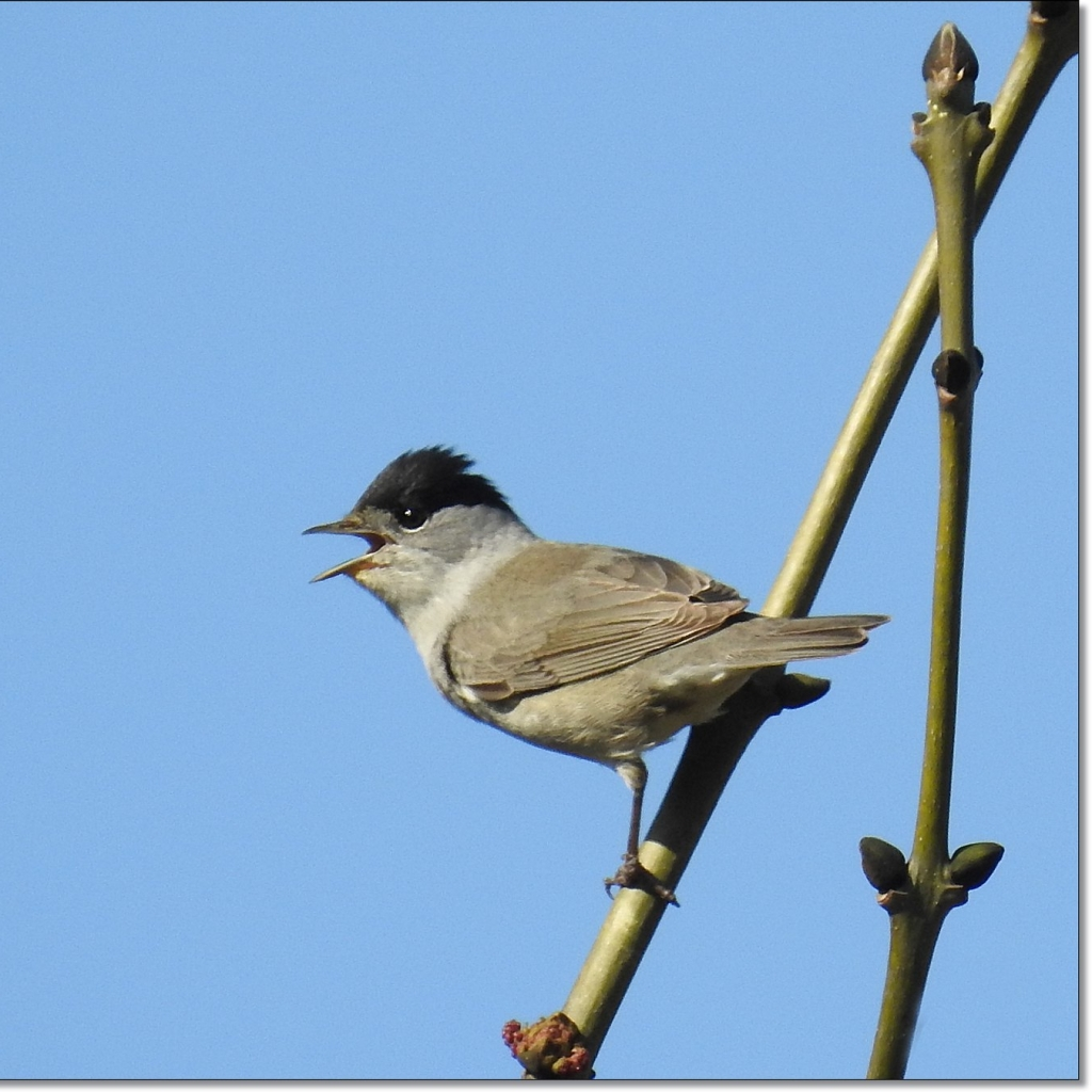 Male blackcap on a branch