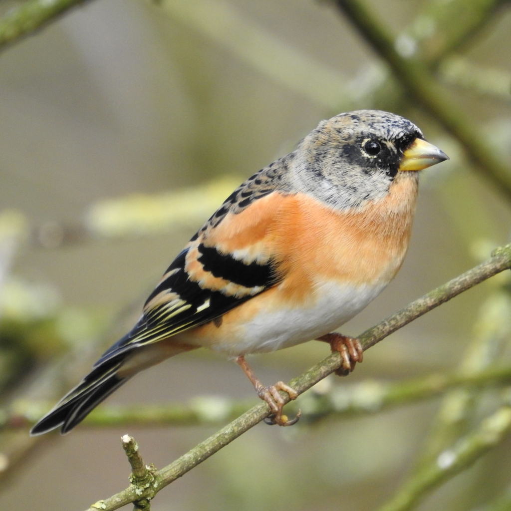 Brambling perched on bare branches