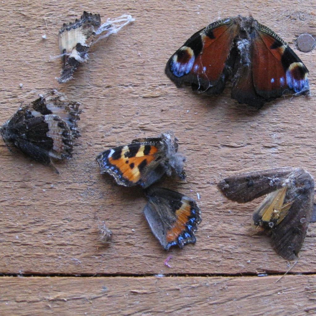Selection of butterflies found in a spiders web
