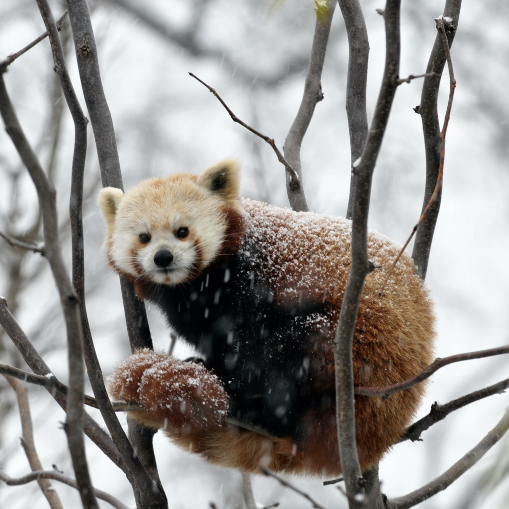 Red panda in tree branches