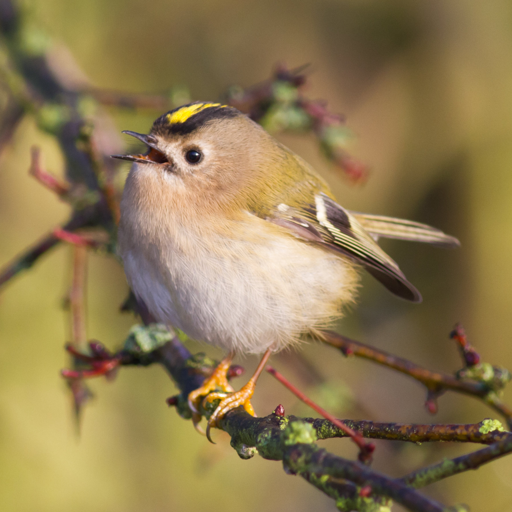 Goldcrest perched on a branch