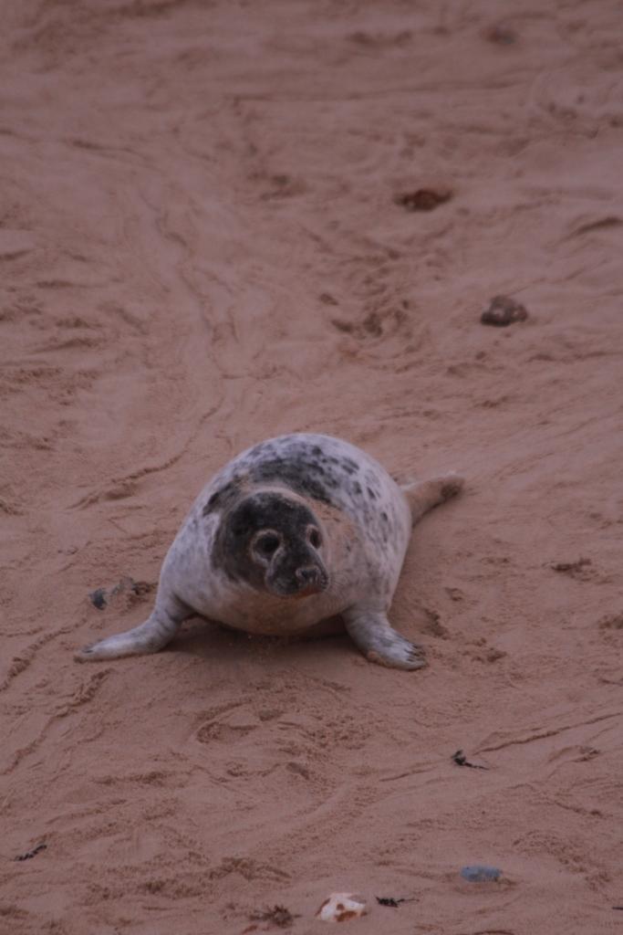 Grey seal pup (c) Andrew Bladon