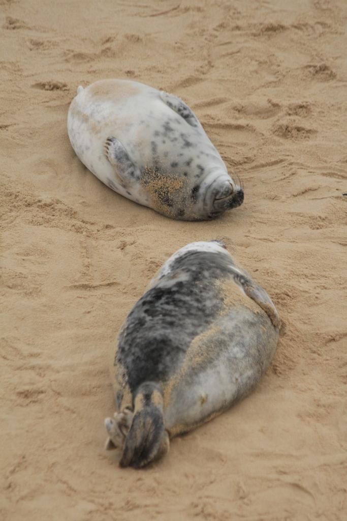two grey seal pups (c) Andrew Bladon