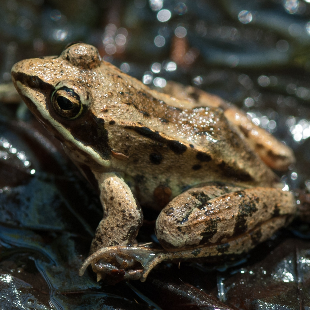North American Wood Frog