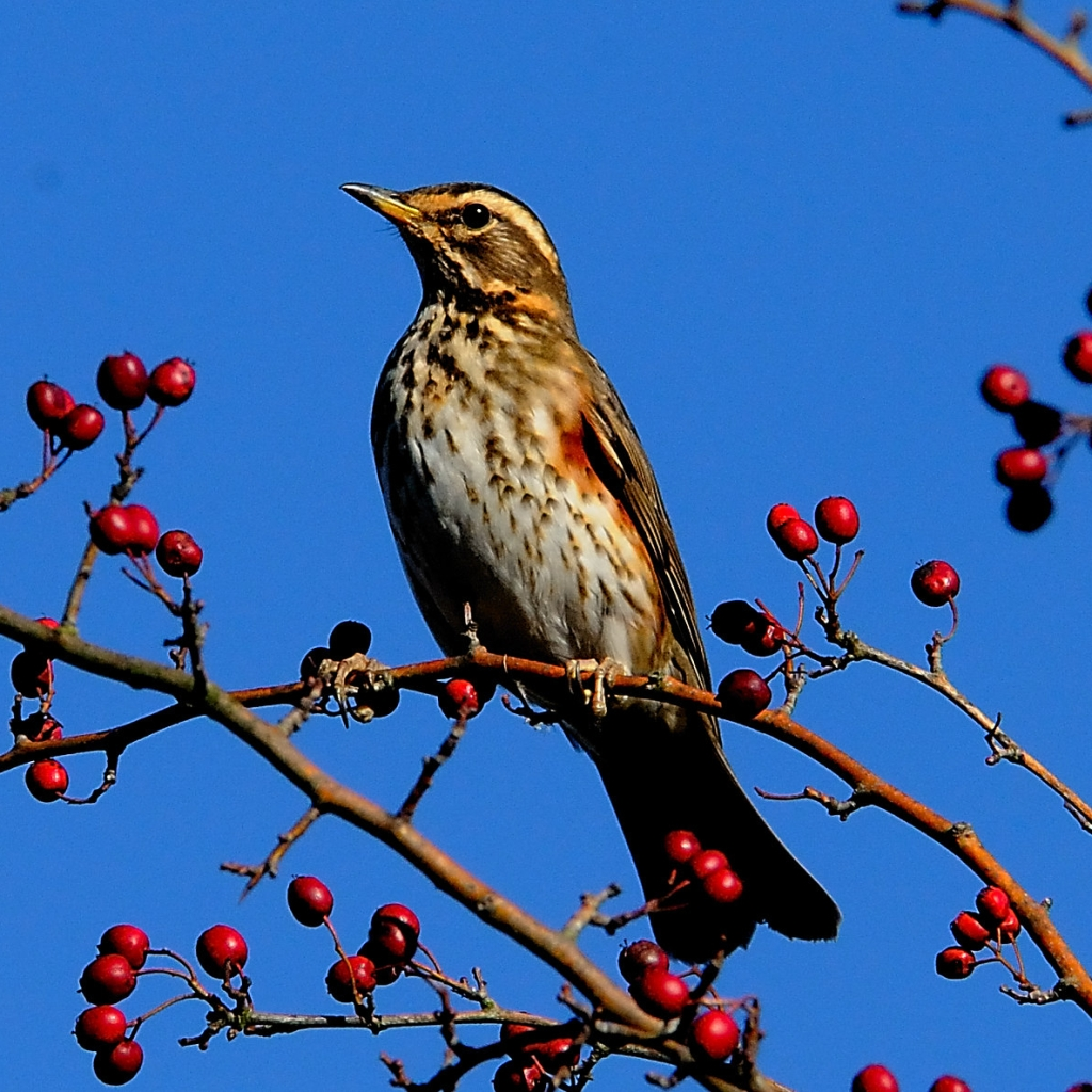 Redwing amongst berries and branches