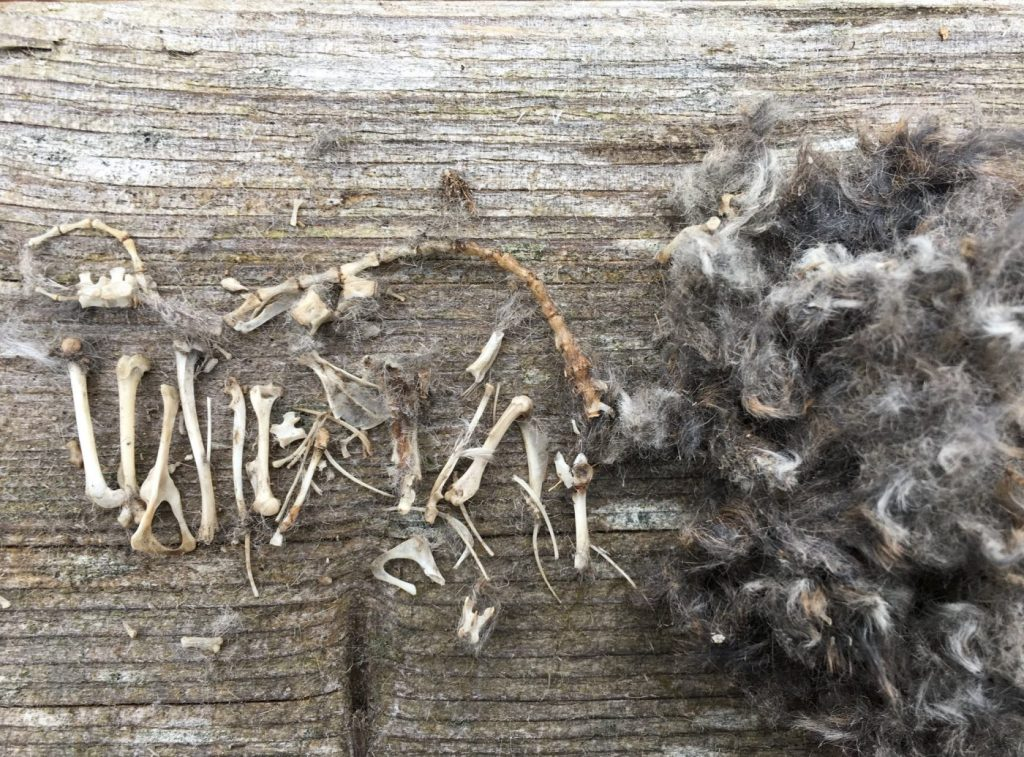 Owl pellet dissected to show the bones and fur of its prey