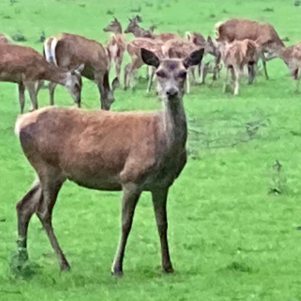 Red deer in a field