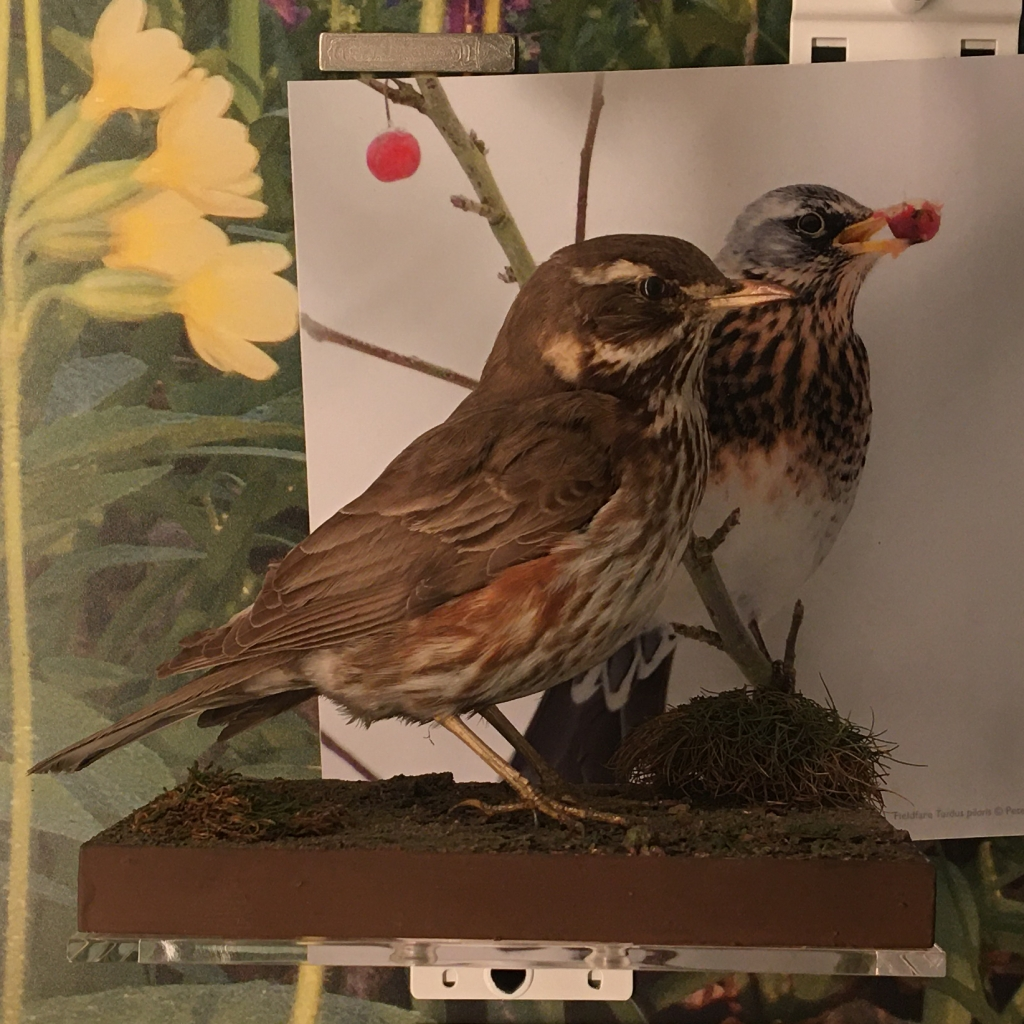 Redwing specimen in the Museum of Zoology