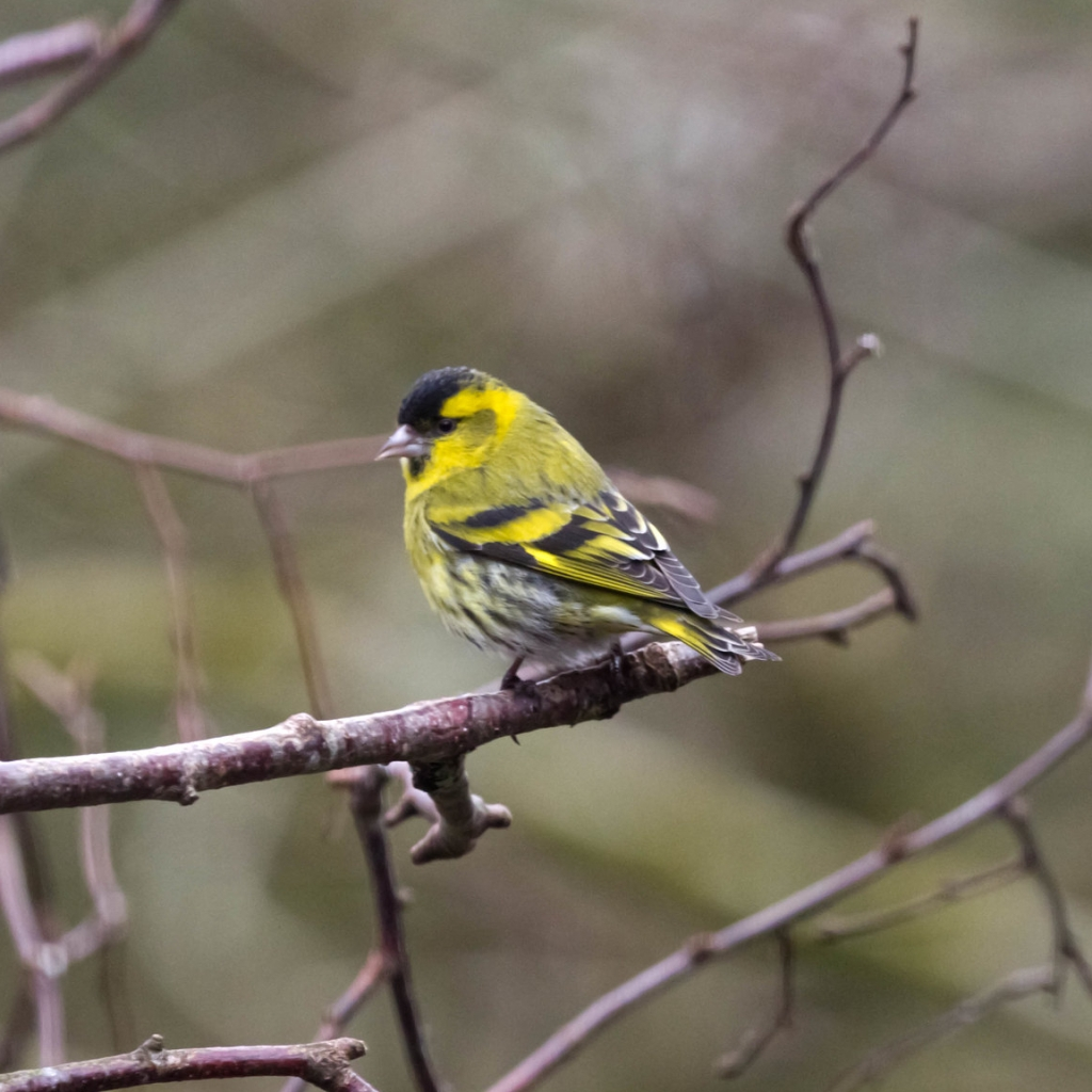 Siskin perched on bare branches