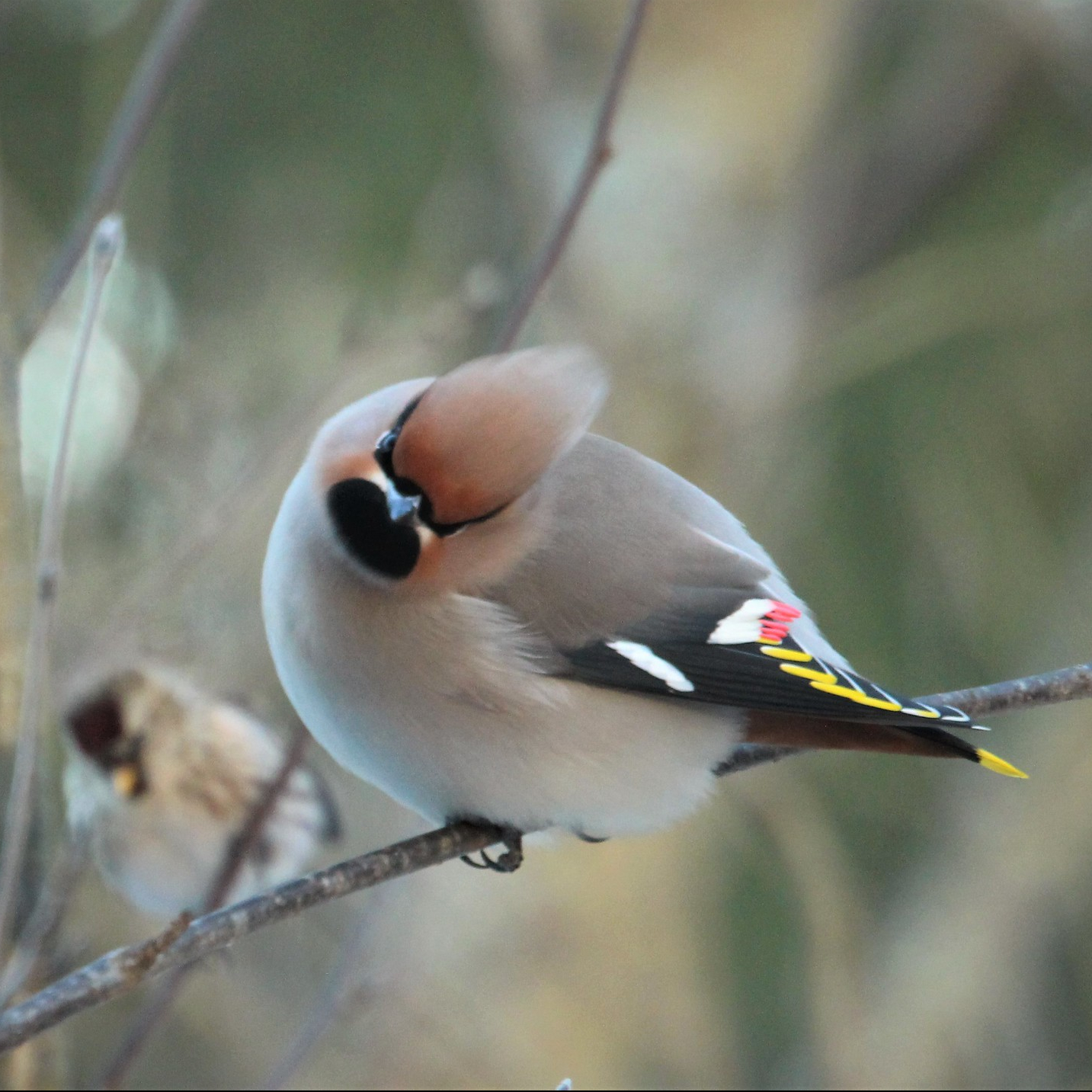 Behemian waxwing on a branch