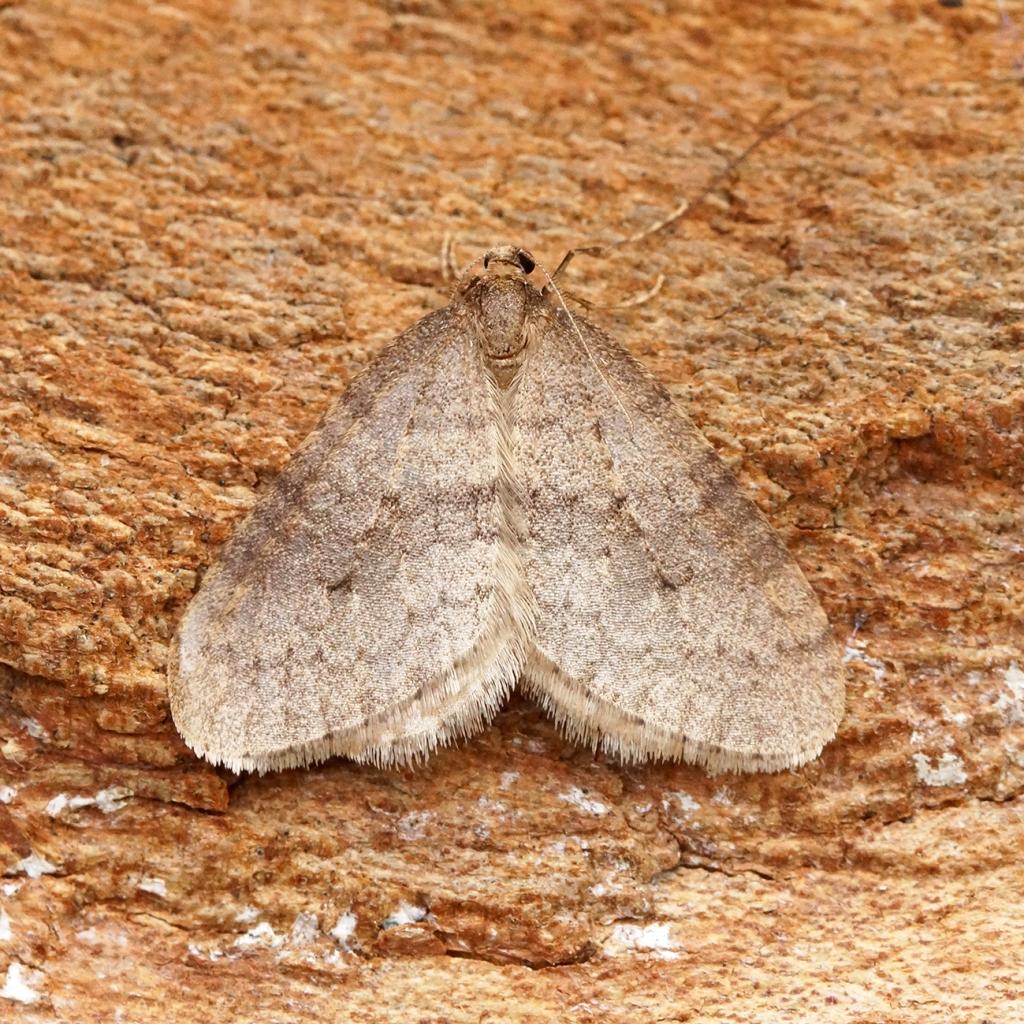 Winter moth resting