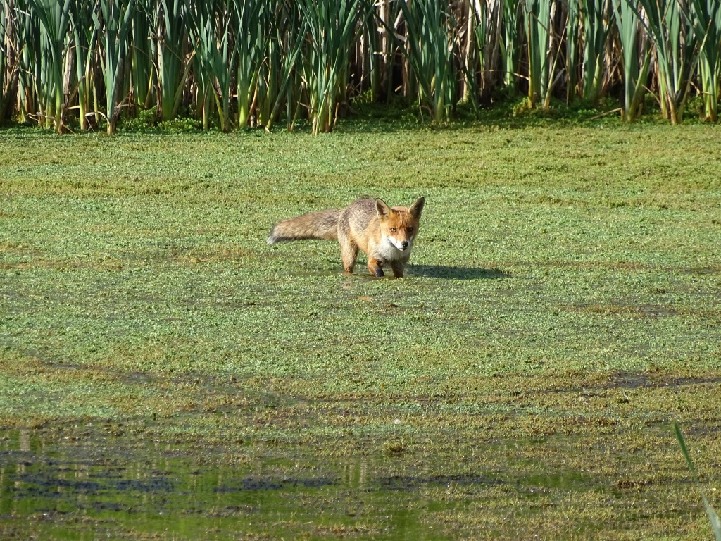 Fox wades out into the wetland