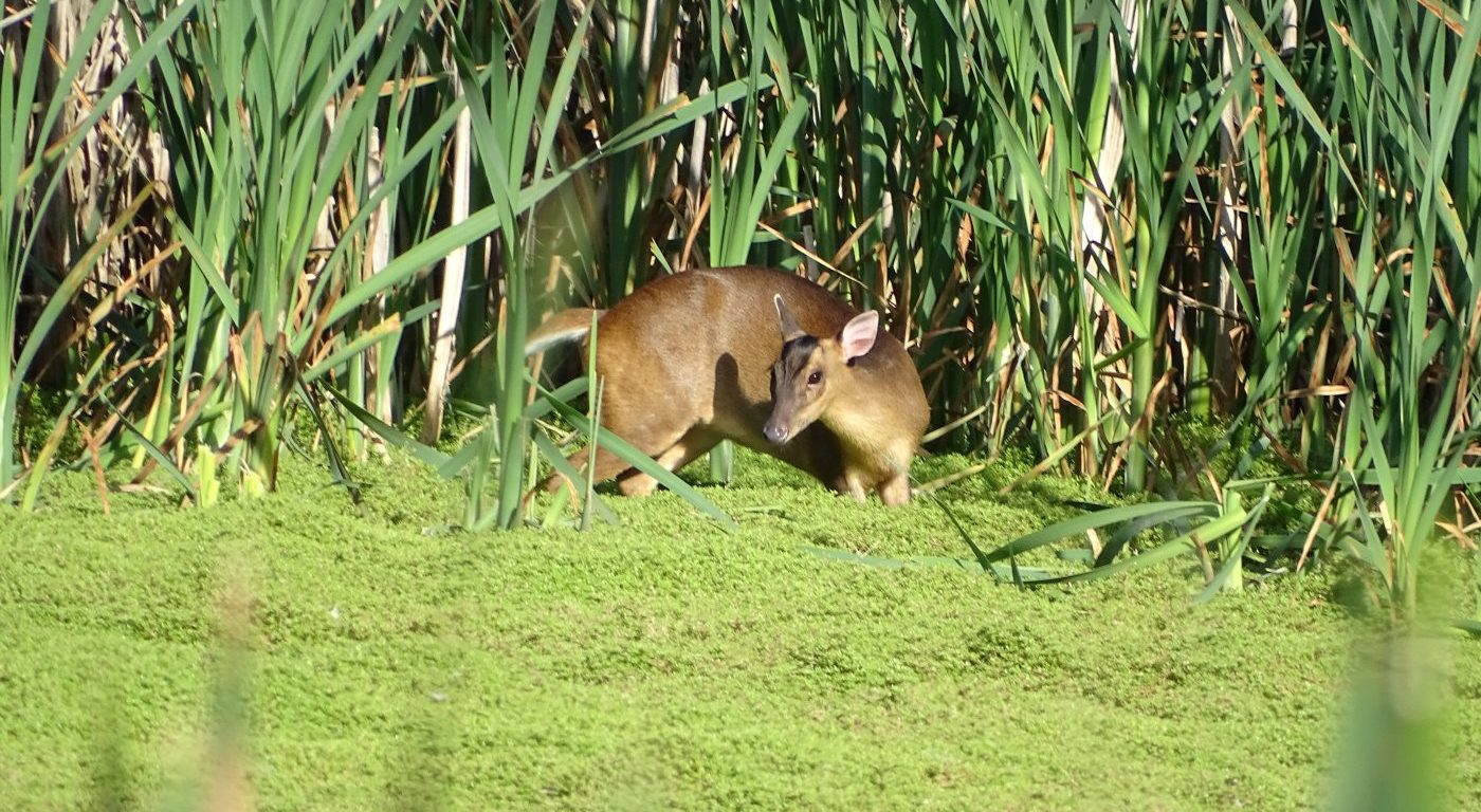 A muntjac in the receding water