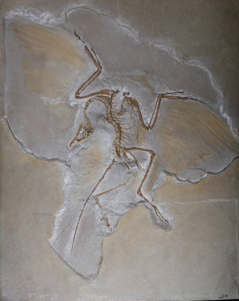 Cast of Archaeopteryx