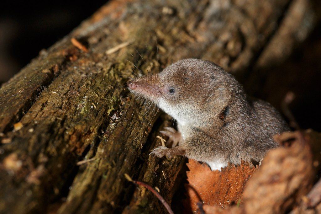 Common shrew in a wood pile