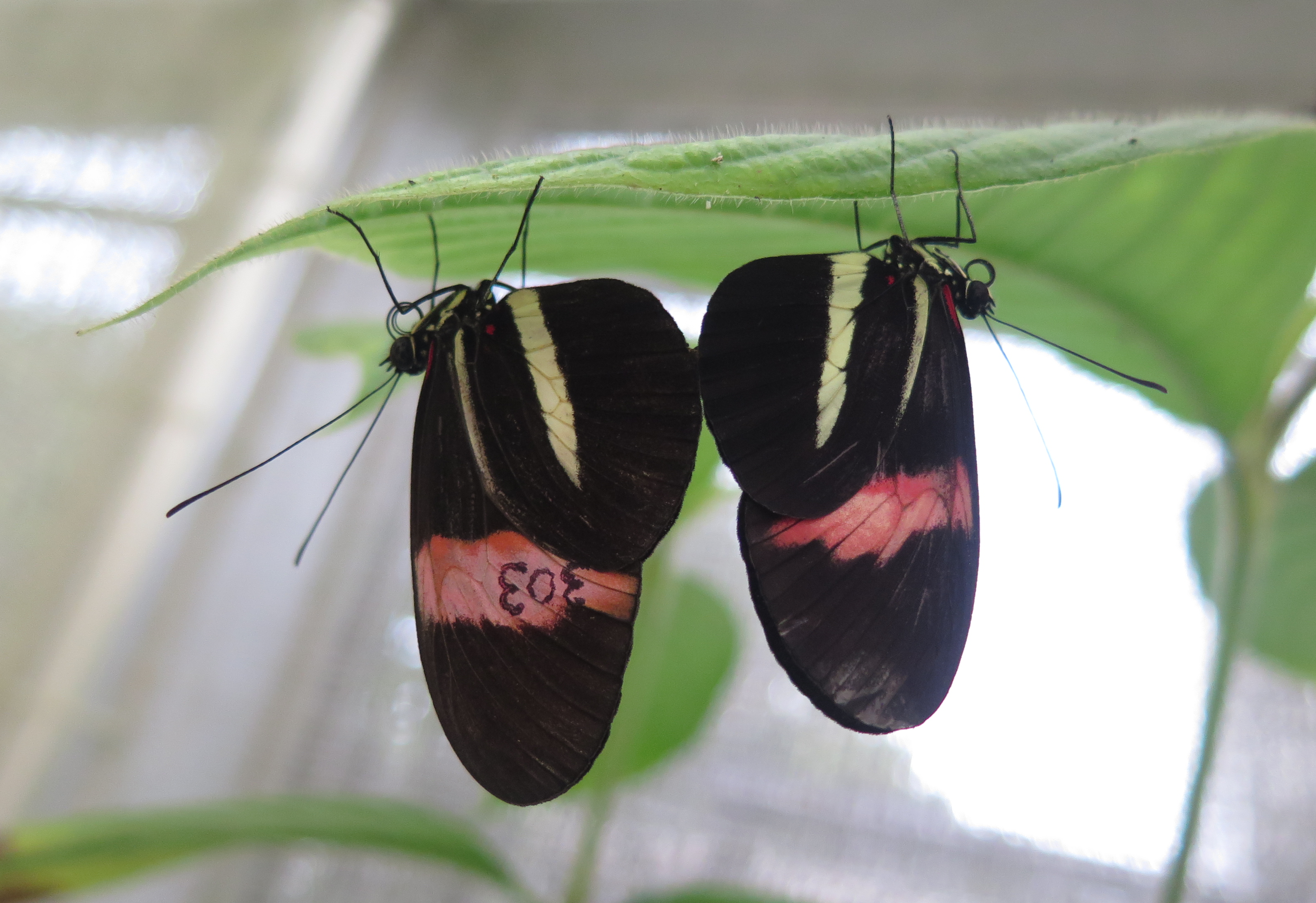 Pair of heliconius butterflies
