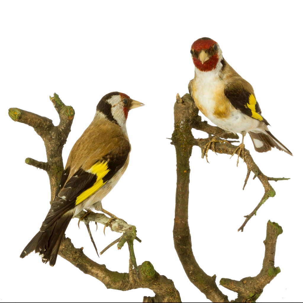 Pair of goldfinch specimens