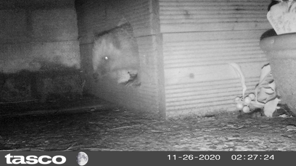 Nighttime image of a hedgehog exiting a hedgehog shelter.