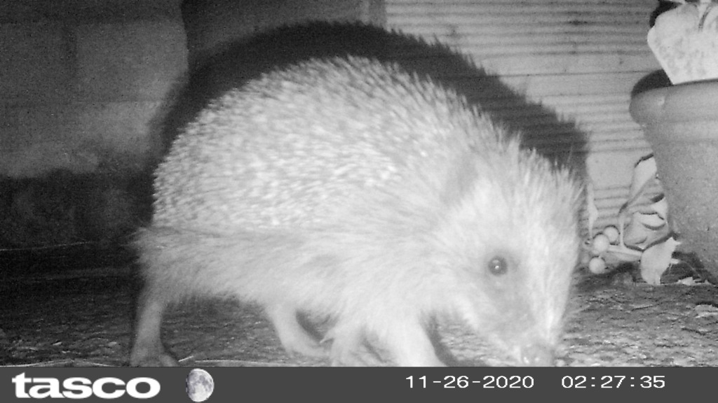 Nighttime image of a hedgehog