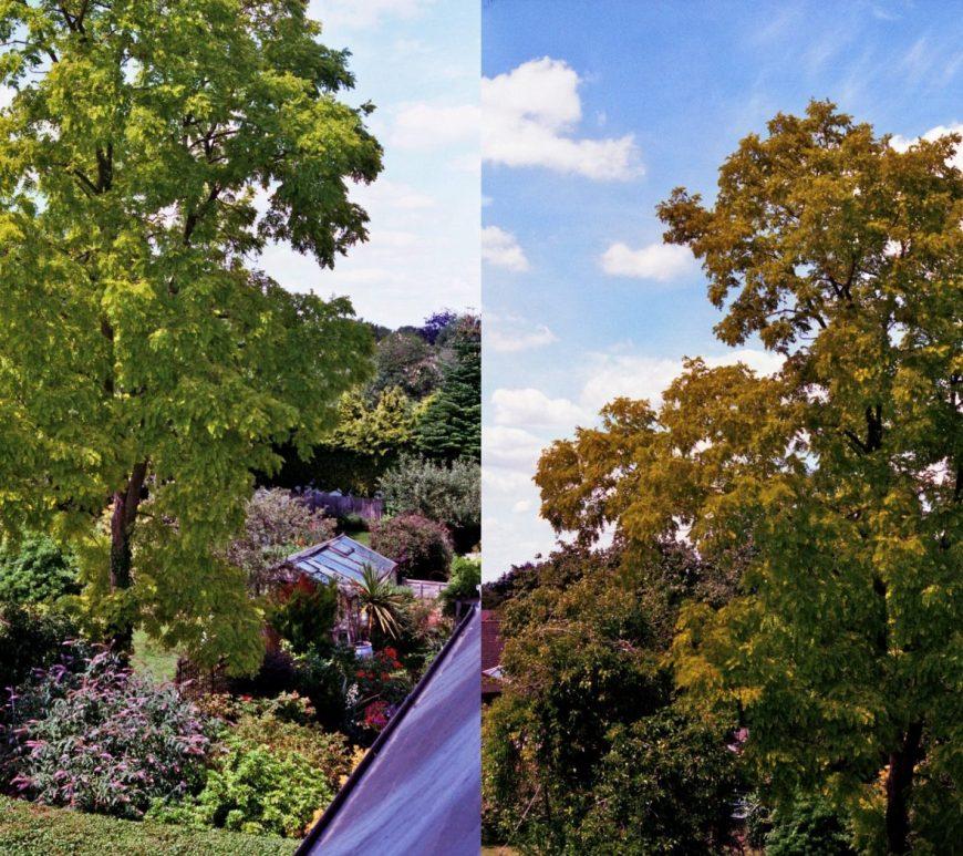 Black locust tree in summer and autumn