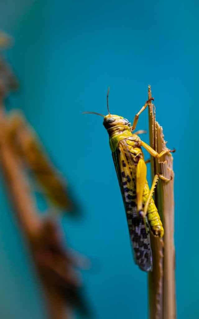Desert locust on a reed