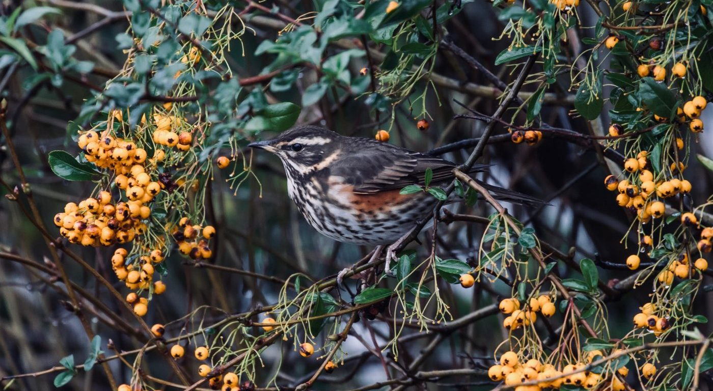 Redwing amongst winter berries