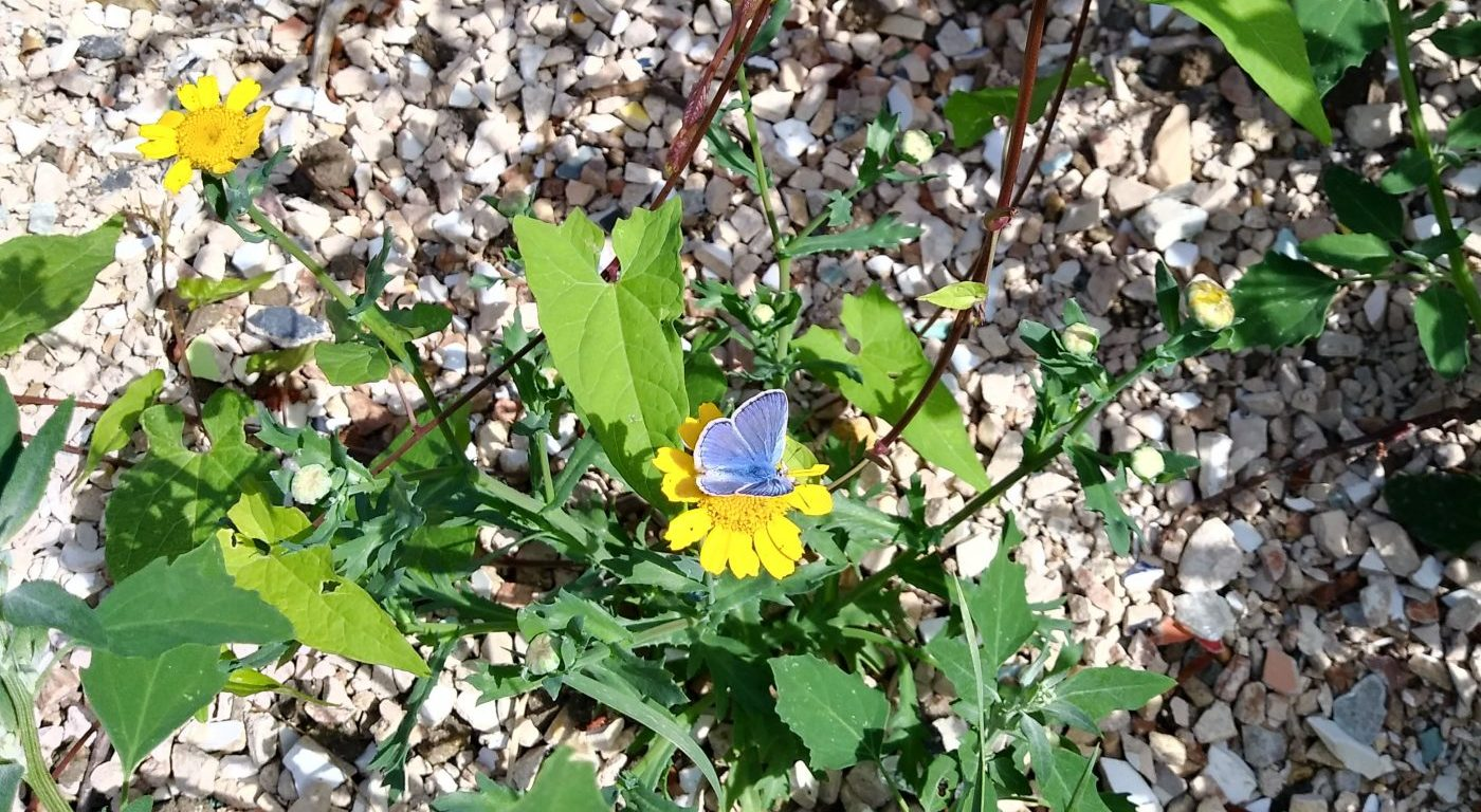 Common blue butterfly sat on a yellow flower at brownfield site