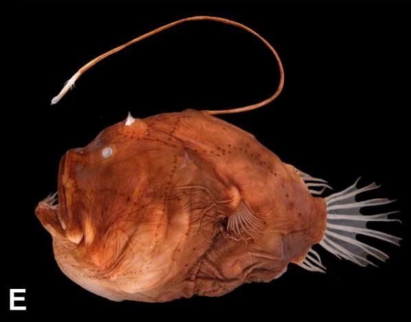 Side profile of anglerfish on black background
