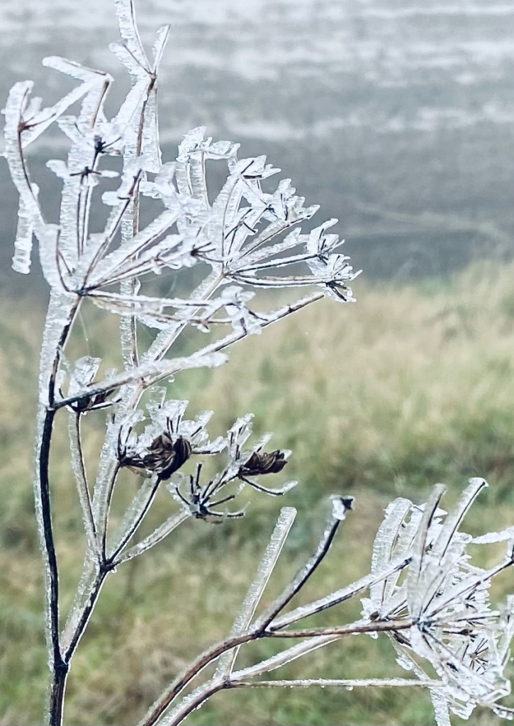 Ice crystals on the stems of a wild plant