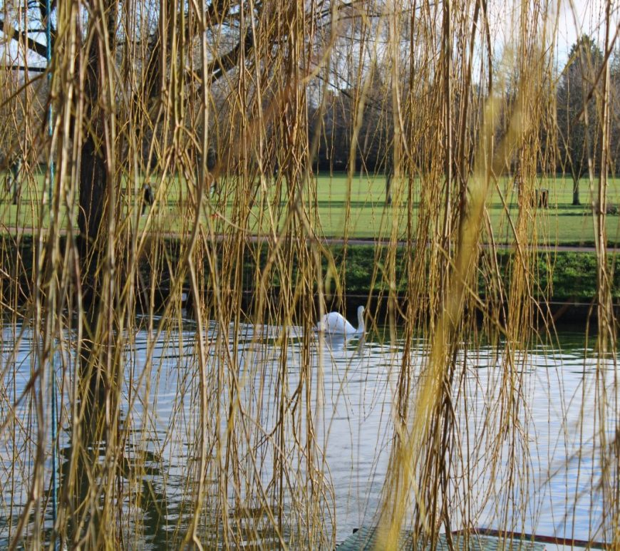 Swan on the river viewed through willow branches