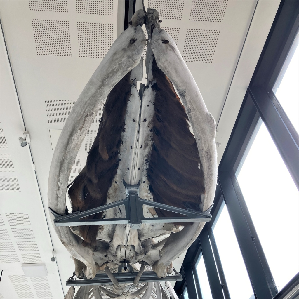 Fin whale skull viewed from underneath