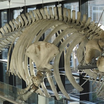 Ribcage of the fin whale skeleton