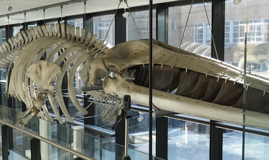 Win whale skeleton at the Museum of Zoology
