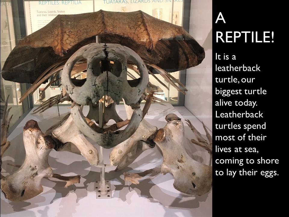 Answer 6 Leatherback Turtle