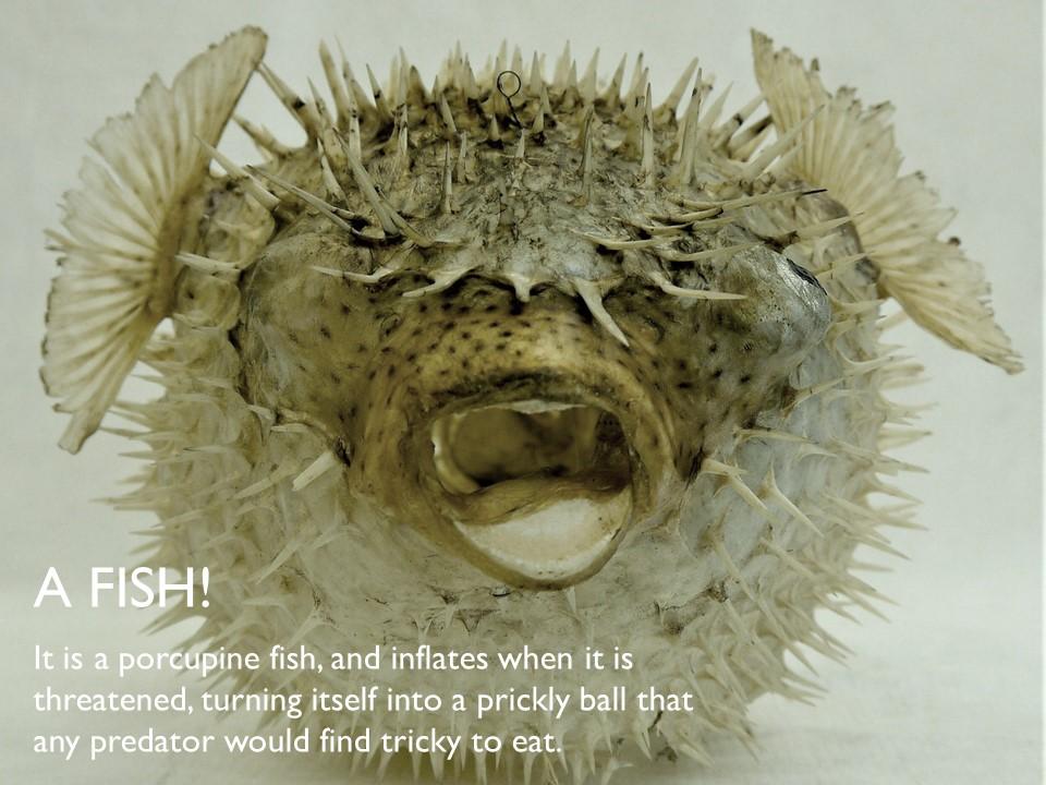 Answer 11 Porcupine Fish