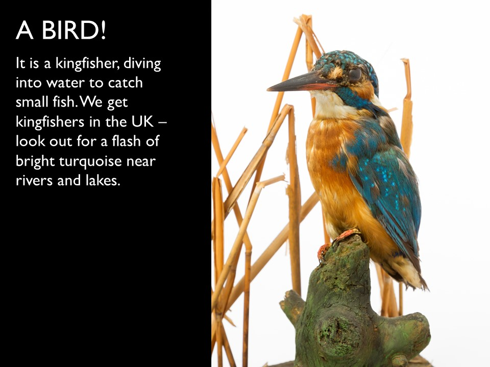 Answer 13 Kingfisher