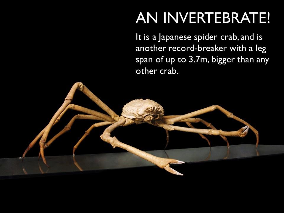 Answer 2 Spider Crab