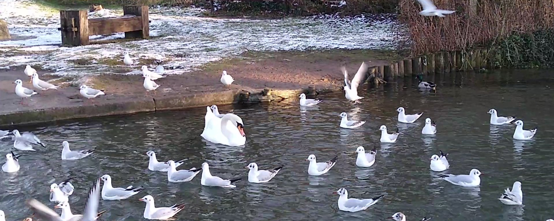 Black-headed gulls and a mute swan swimming on a lake at Cherry Hinton Hall