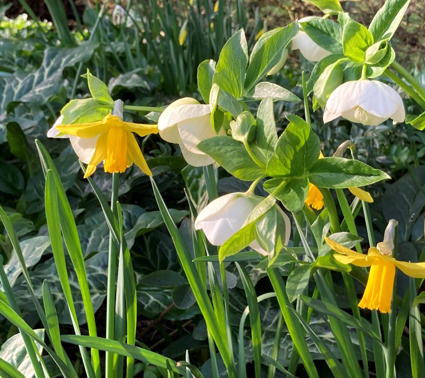 Daffodils and helebores in the Botanic Garden