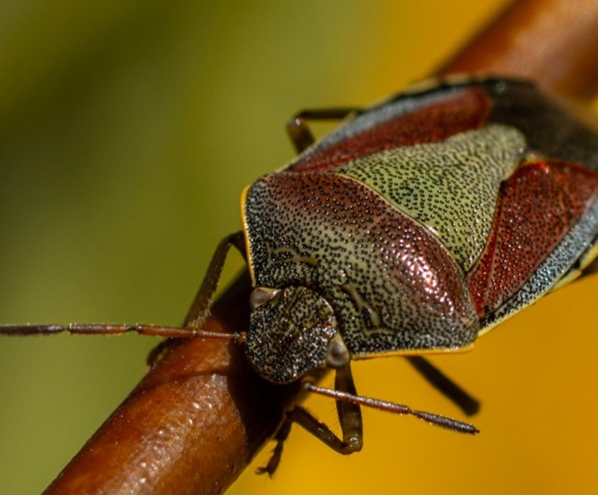 Gorse shieldbug on a branch