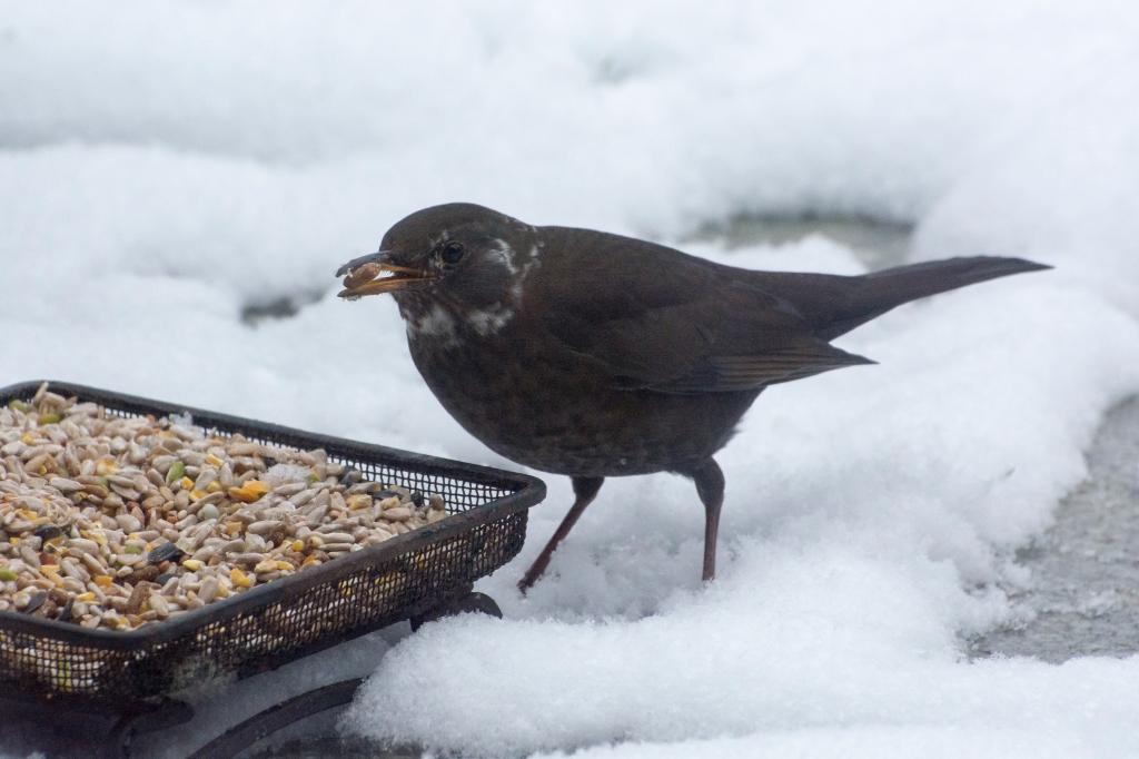Female blackbird eating at a bird feeder in the snow