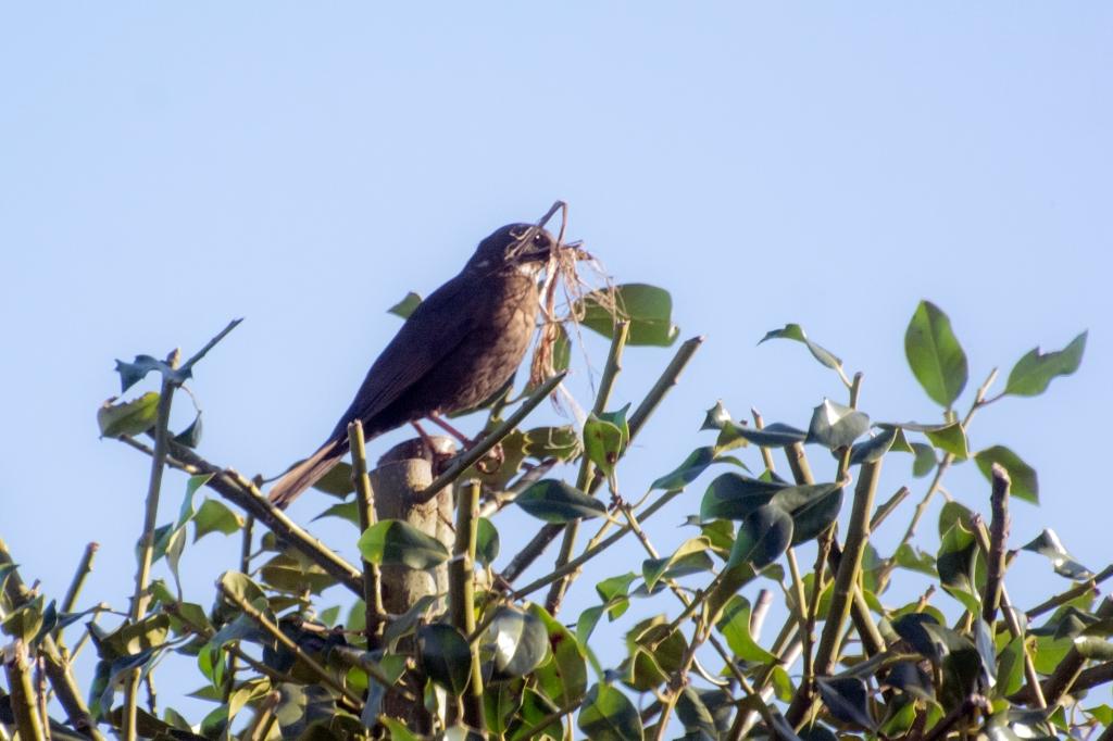 Female blackbird with nesting materials in her beak