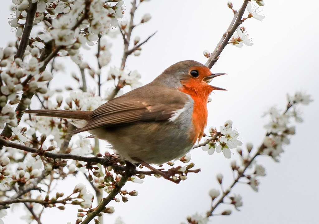 Robin singing surrounded by blossom